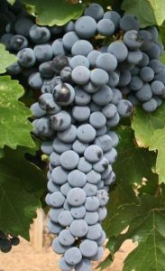 Red_Mountain_Cabernet_Sauvignon_grapes_from_Hedge_Vineyards